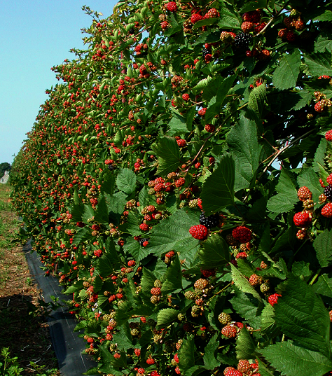 Berry Arbors: Trellis Growing Systems