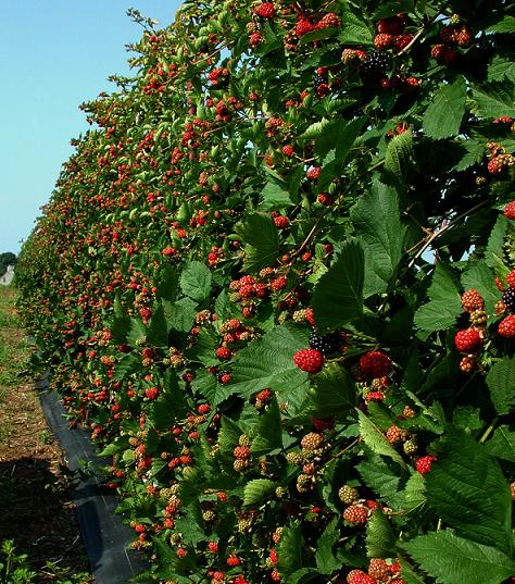 Blackberries Harvest Trellis Growing Systems