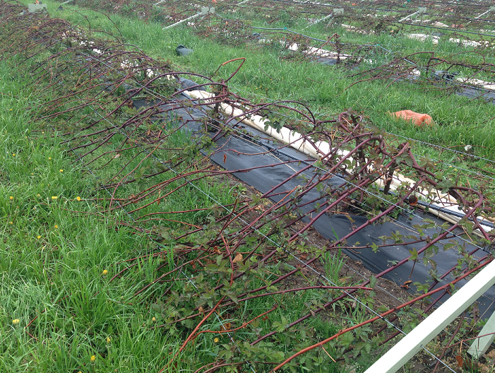 how to grow blackberries in florida